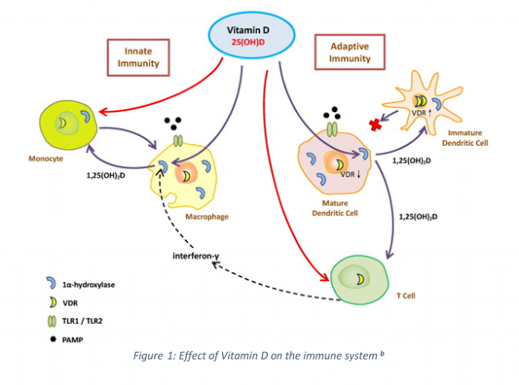Effect Vitamin D Immune System