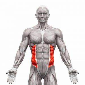 External Oblique Muscles