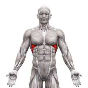 Serratus Anterior Muscles - Anatomy Muscles